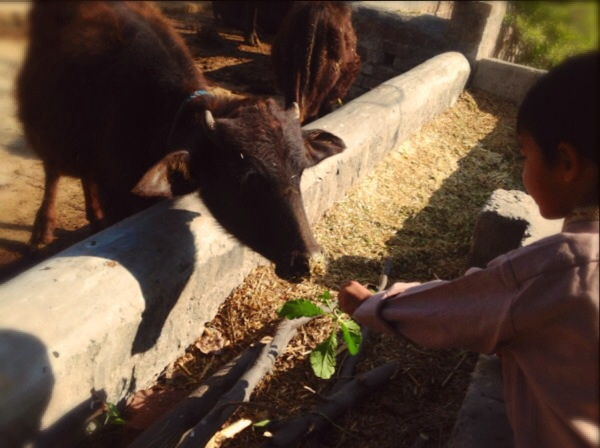 Feeding the buffaloes
